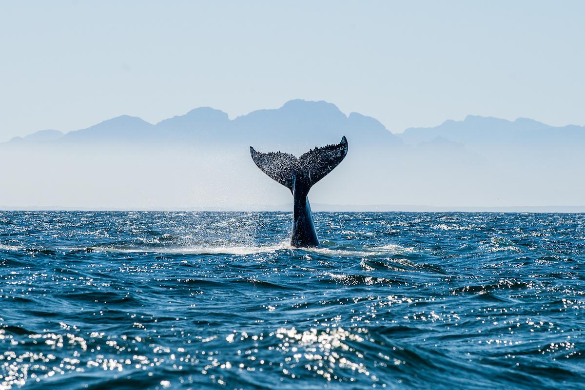 La naturaleza en estado puro: ballena jorobada en mar abierto (iStock).