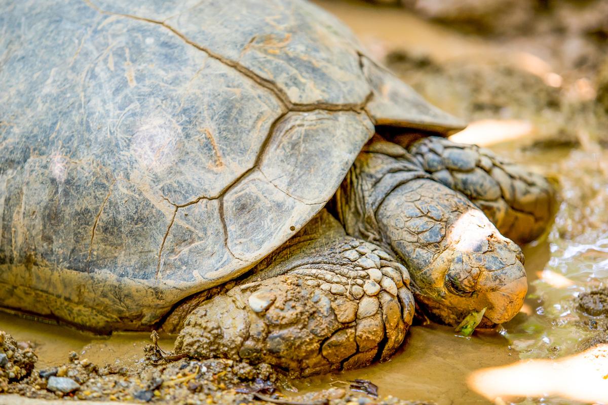 El desove de las tortugas en las costas costarricenses, todo un espectáculo (iStock).