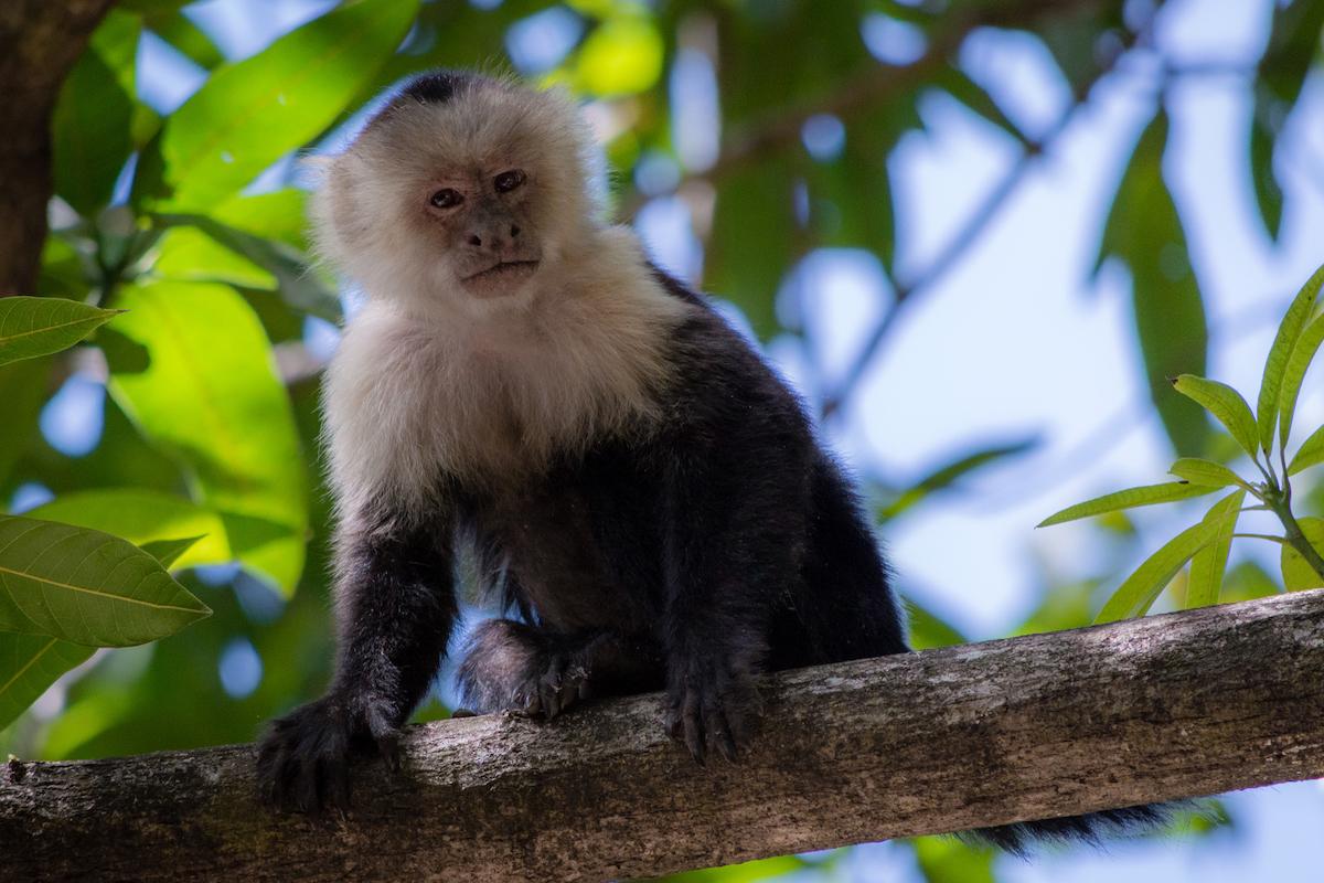 Los monos, uno de los simpáticos habitantes del parque nacional de Palo Verde (iStock).