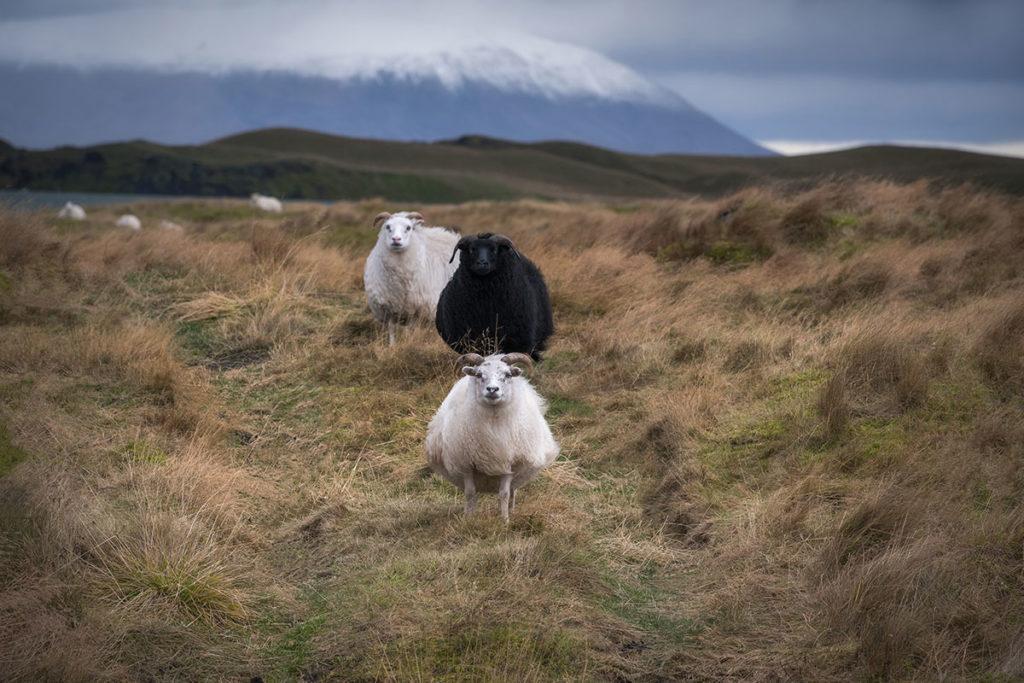 ¿Por qué las ovejas en Islandia siempre van de tres en tres? (iStock)