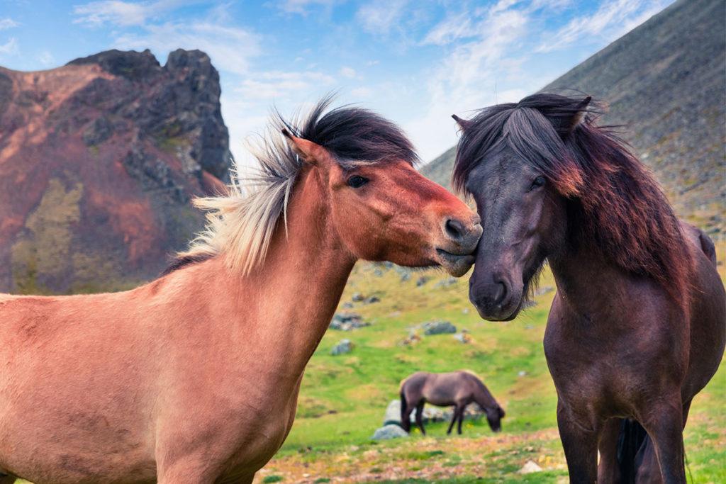 Los caballos islandeses son tranquilos y cariñosos (iStock)