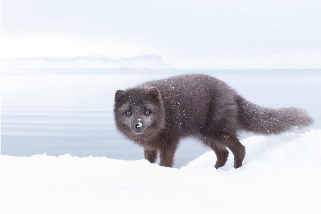 El zorro ártico suele medir unos 55 cm de largo (iStock)