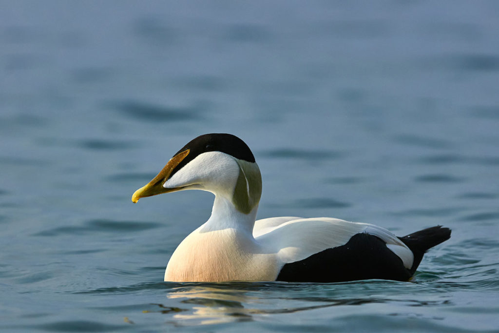 El eider común, otra de las especies curiosas que puedes ver en tu ruta por Islandia (iStock)